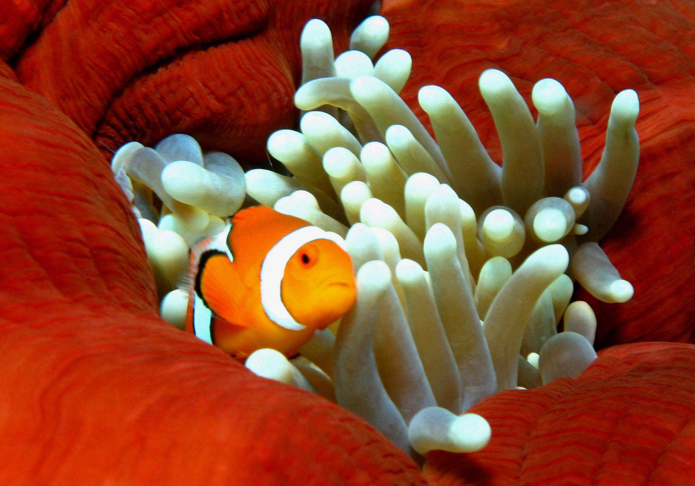 Steve's Bommie Clownfish